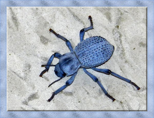 Desert Ironclad Beetle or  Blue Death Feigning Beetle-Educational and Fun