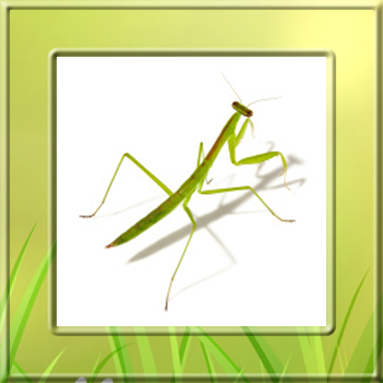 the description of the praying mantis mantis religiosa The other day i saw a praying mantis that had been accidentally crushed and thought what a loss it was — or was it praying mantis (mantis religiosa) is an.