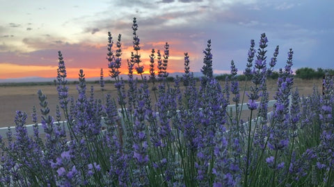 Lavender with sunset in background at Rhumb Line Vineyard