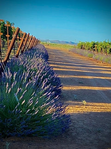 Lavender plants at the end of the grapevine row