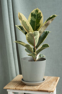 Rubber Plant Variegated