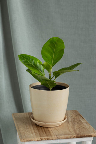 Lemon Lime Rubber Plant