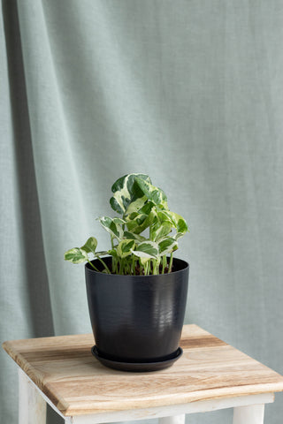N'Joy Money Plant