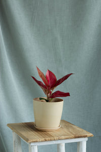 Aglaonema Red Anjamani