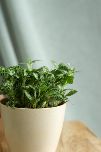 Closeup-Fittonia green