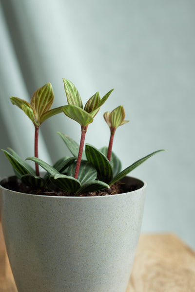 Closeup-Peperomia Stilt