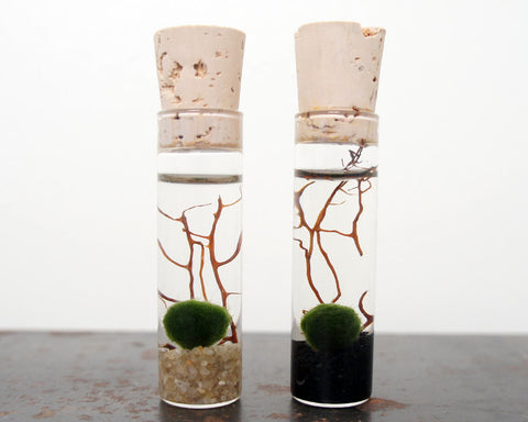 Marimo Moss Ball Terrarium Set