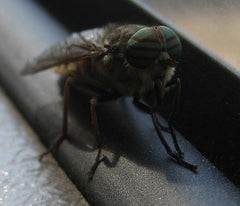 Cattle fly