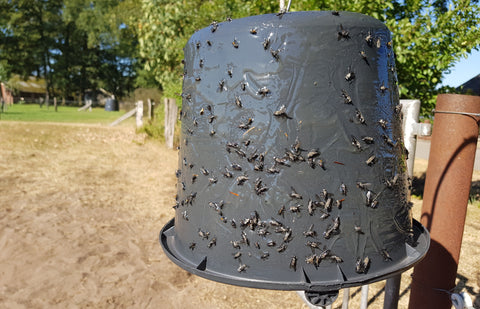 Horsefly trap with flytrap glue