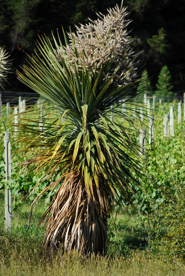 Cabbage Trees at Māori Point