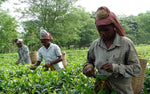 Dark side of Assam tea and importance of organic farming