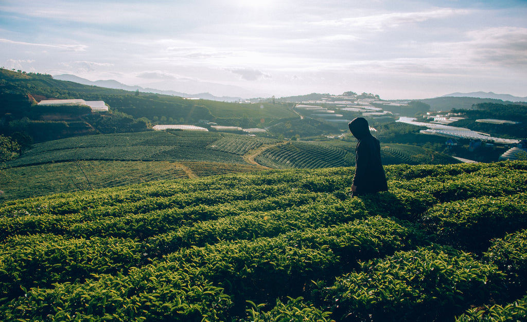 Indian Organic Tea at its Savouring Success - What Factors Are The Real Enablers?
