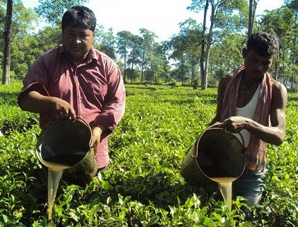 Organic Tea Farmers From Assam