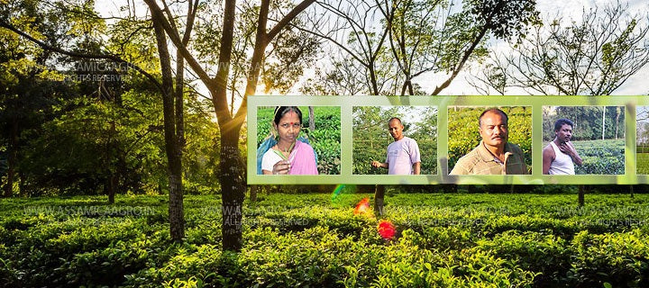 Livelihood for Assam Small Tea Growers