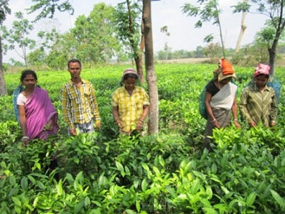Workers in a Small Tea Farm - Assam