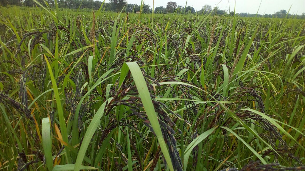 Black Rice Cultivation in Assam