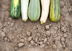 When To Harvest Zucchini In A Vegetable Garden