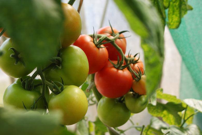 How Do You Prune Tomato Plants in Your Summer Garden? Our Tips & Tricks