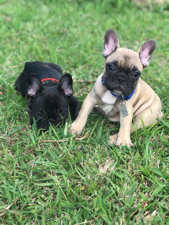 7 Thing You Need to Know When Taking Care of Your French Bulldog