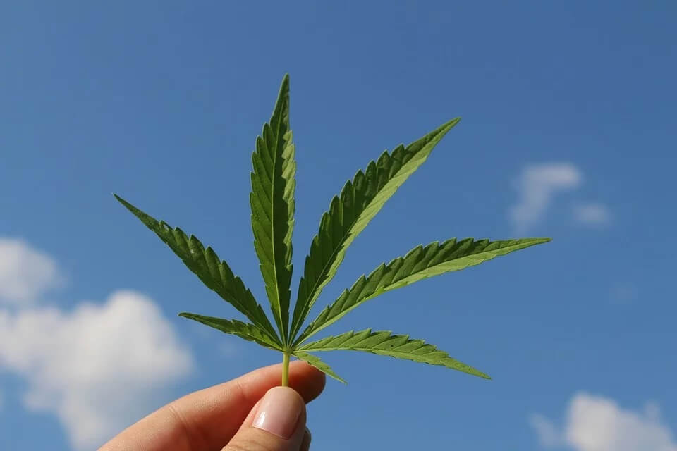 Hemp leaf for CBD oil