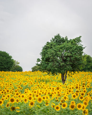 sunflower field and a tree
