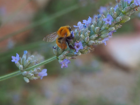 image of a bee on a sprig of lavendar