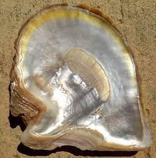 Gold Lipped Oyster Shell