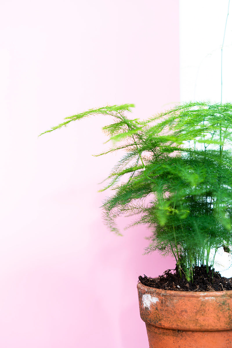 Asparagus Fern with Vintage Terracotta Pot