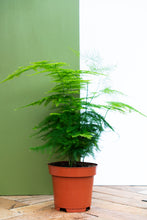 Load image into Gallery viewer, Asparagus Fern
