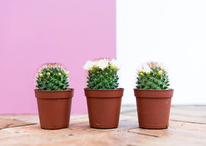 Mini Flowering Cactus