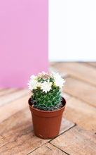 Load image into Gallery viewer, Mini Flowering Cactus