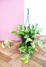 Load image into Gallery viewer, Marble Queen Pothos