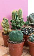 Load image into Gallery viewer, Mixed Cacti x3