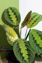 Load image into Gallery viewer, Prayer Plant Maranta