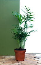 Load image into Gallery viewer, Parlour Palm plant