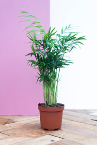 Parlour Palm small