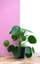 Load image into Gallery viewer, Pilea Peperomioides