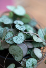 Load image into Gallery viewer, String of Hearts Ceropegia Woodii