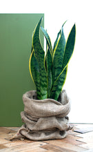 Load image into Gallery viewer, Snake Plant Sansevieria