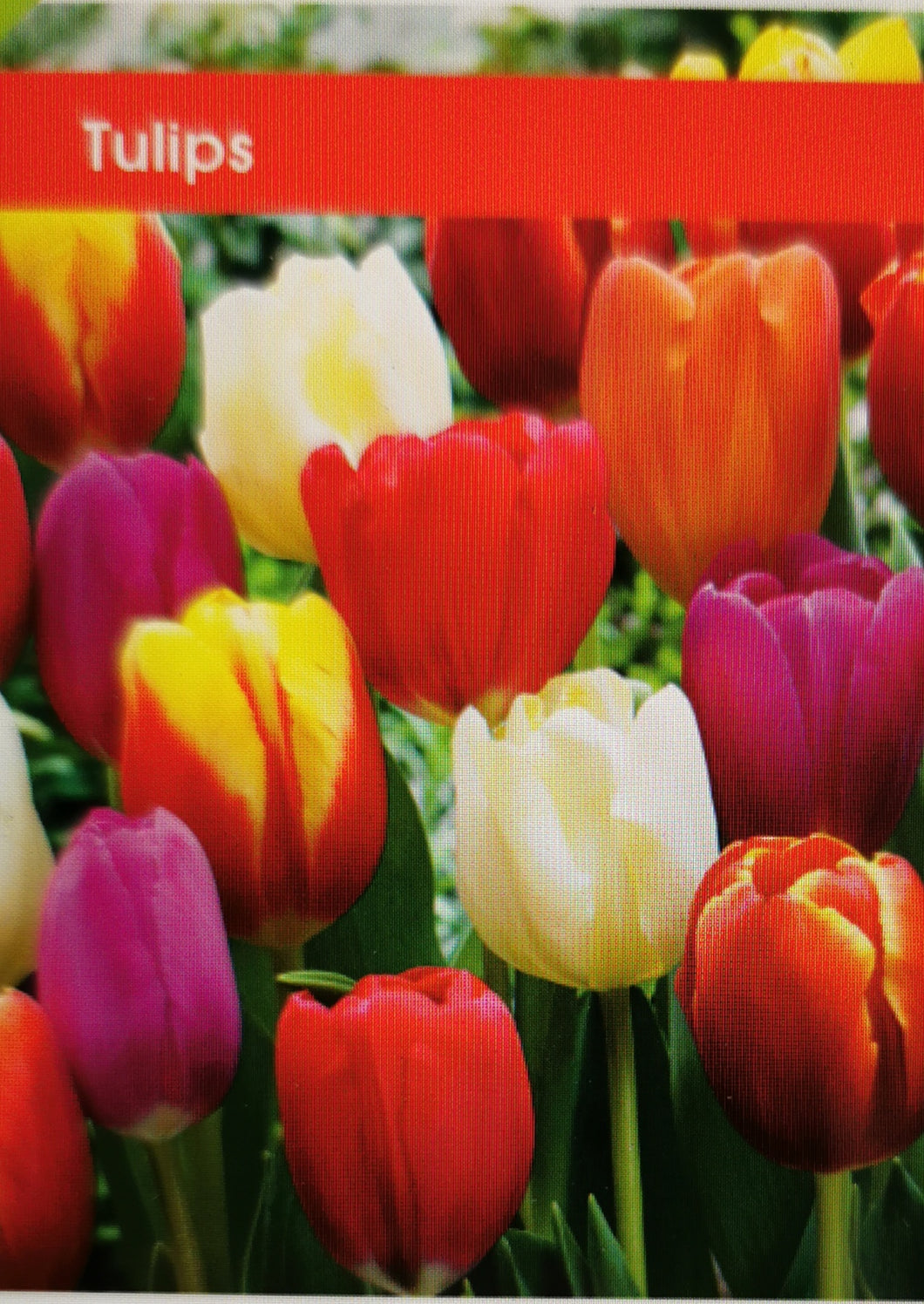 Tulip Lily Flowering Mixed (Dozen)