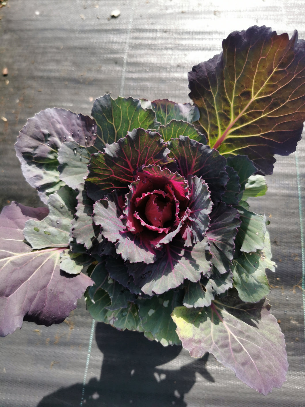 Ornamental Kale Red