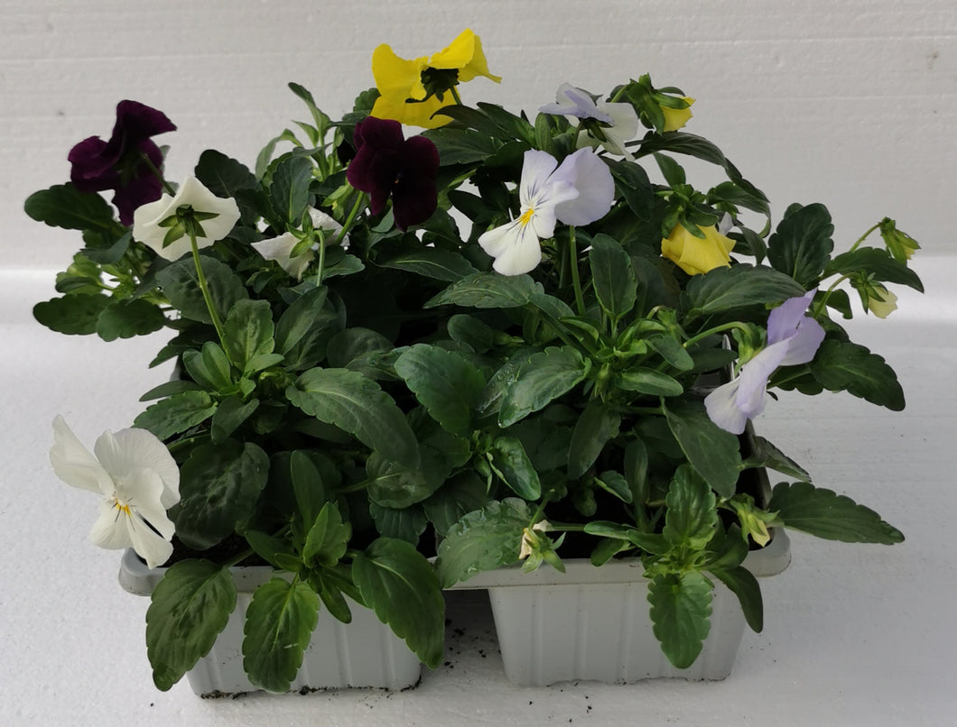 Trailing Pansy Mixed