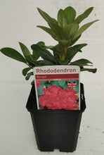 Load image into Gallery viewer, Dwarf Rhododendron - Bengal