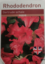 Load image into Gallery viewer, Rhododendron - Gertrude Schale
