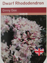 Load image into Gallery viewer, Rhododendron - Ginny Gee