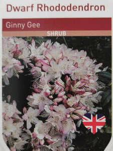 Rhododendron - Ginny Gee