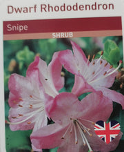 Load image into Gallery viewer, Dwarf Rhododendron - Snipe