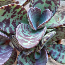 Load image into Gallery viewer, Kalanchoe pumila RED ZEBRA 5.5cm