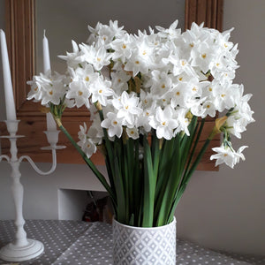 Narcissus 'ZIVA' Christmas paperwhite pack of 6