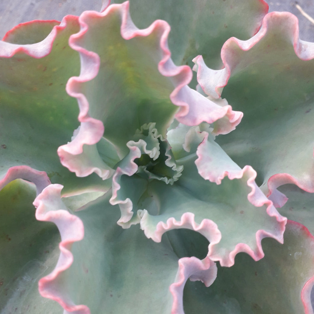 Echeveria 'FIRST LADY' 13cm